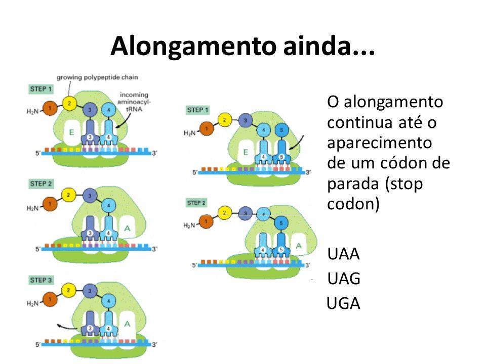 Alongamento ainda... O alongamento continua até o aparecimento de um códon de parada (stop codon) UAA UAG UGA