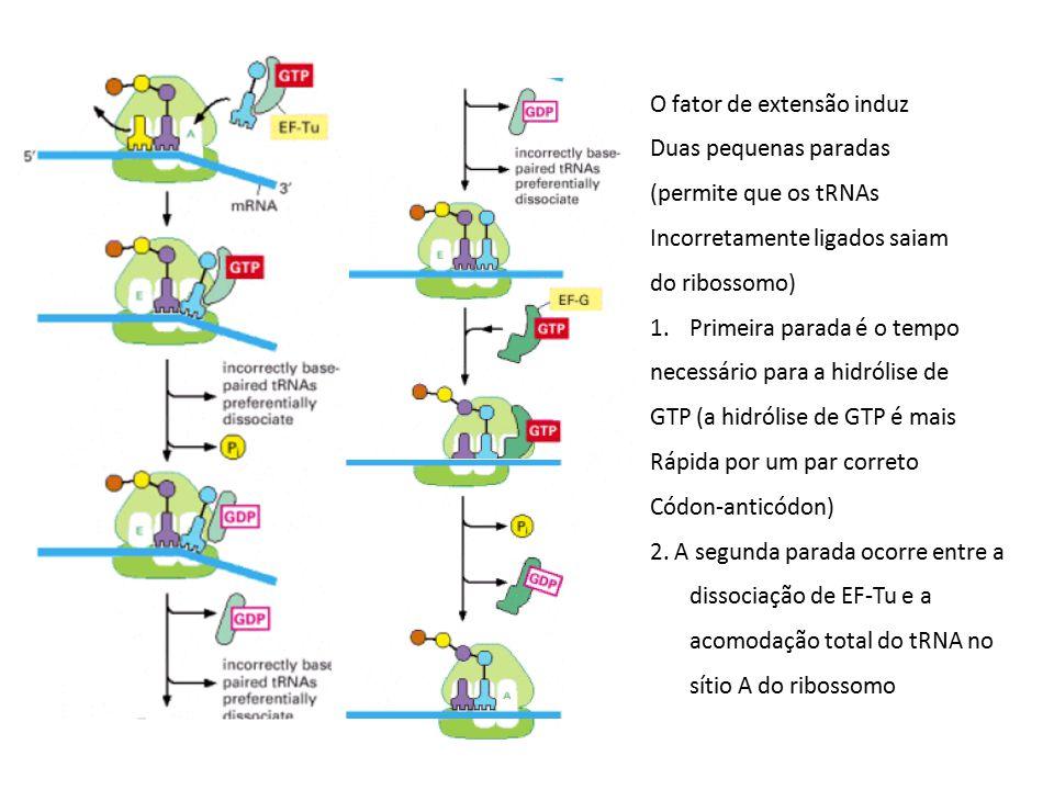 O fator de extensão induz Duas pequenas paradas (permite que os tRNAs Incorretamente ligados saiam do ribossomo) 1.Primeira parada é o tempo necessári
