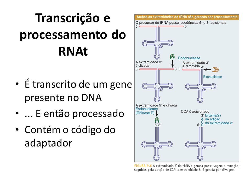 Transcrição e processamento do RNAt É transcrito de um gene presente no DNA... E então processado Contém o código do adaptador