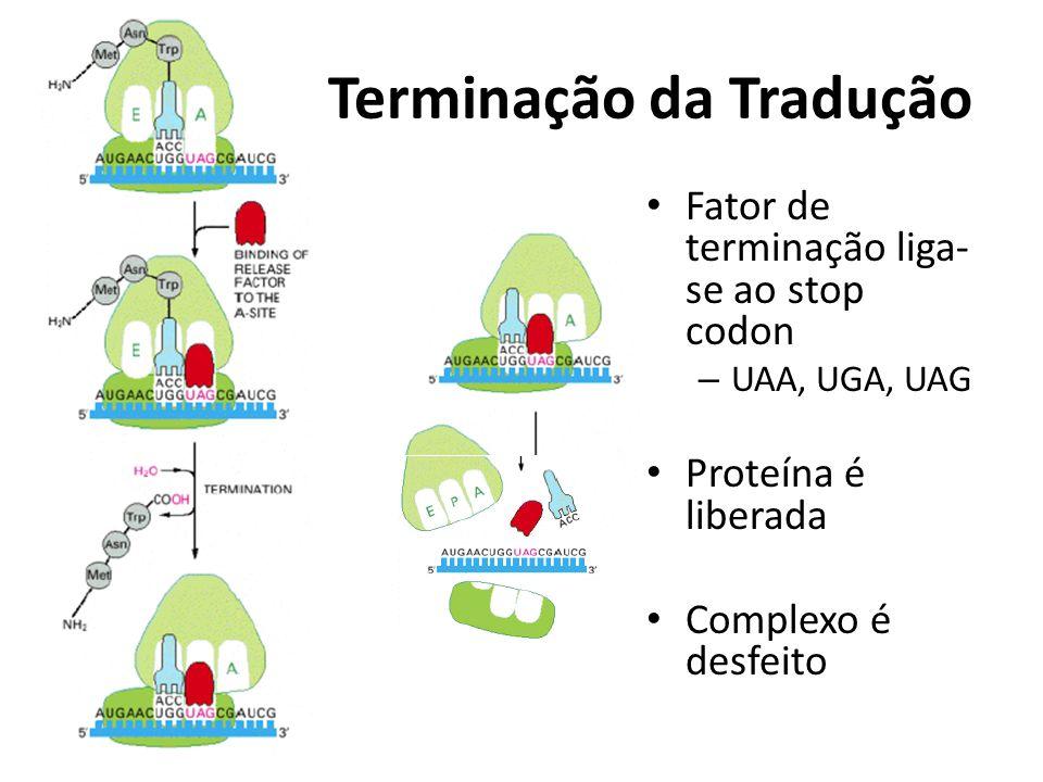 Terminação da Tradução Fator de terminação liga- se ao stop codon – UAA, UGA, UAG Proteína é liberada Complexo é desfeito