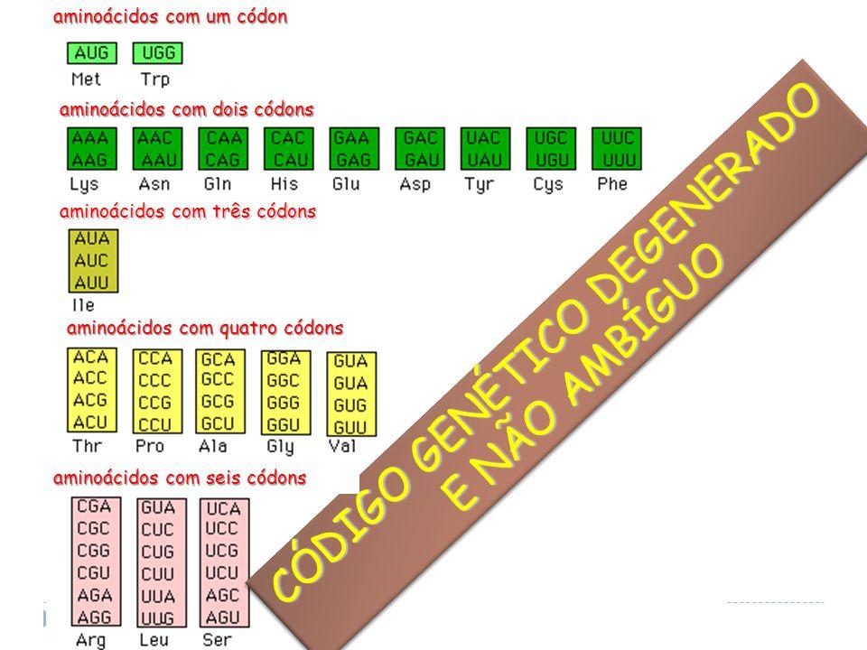 CÓDIGO GENÉTICO DEGENERADO E NÃO AMBÍGUO E NÃO AMBÍGUO CÓDIGO GENÉTICO DEGENERADO E NÃO AMBÍGUO E NÃO AMBÍGUO aminoácidos com quatro códons aminoácidos com seis códons aminoácidos com três códons aminoácidos com dois códons aminoácidos com um códon