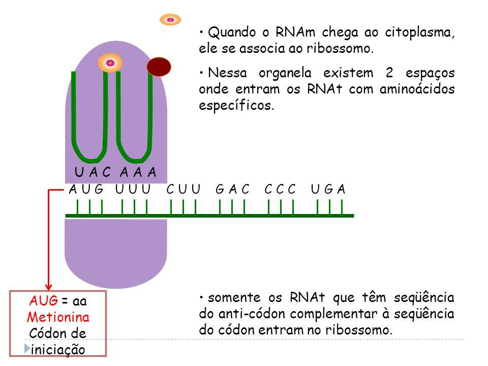 A U G U U U C U U G A C C C C U G A U A CA A A Quando o RNAm chega ao citoplasma, ele se associa ao ribossomo.