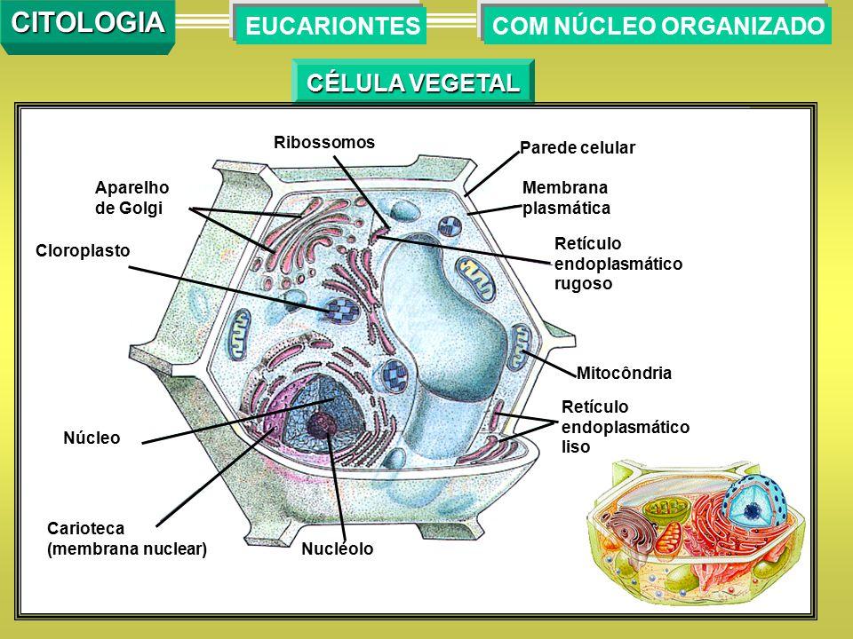 CÉLULA VEGETAL COM NÚCLEO ORGANIZADOEUCARIONTESCITOLOGIA Ribossomos Parede celular Membrana plasmática Retículo endoplasmático rugoso Mitocôndria Retí