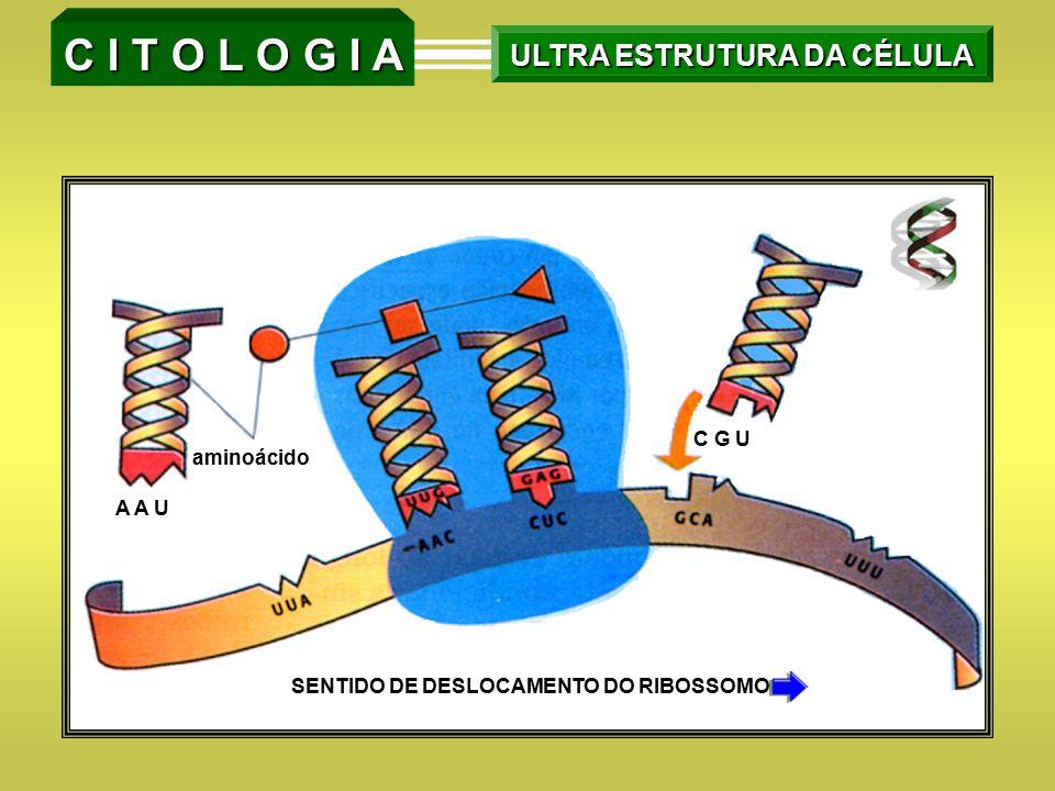 C I T O L O G I A ULTRA ESTRUTURA DA CÉLULA SENTIDO DE DESLOCAMENTO DO RIBOSSOMO aminoácido C G U A A U