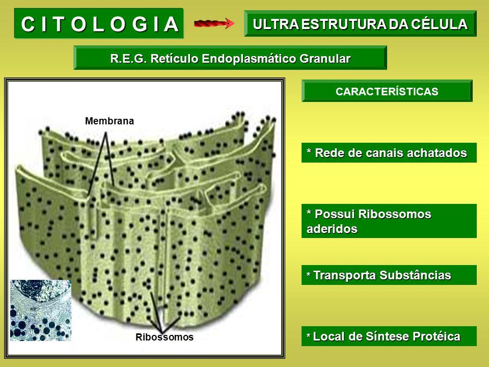 Membrana Ribossomos CARACTERÍSTICAS * Possui Ribossomos aderidos * Rede de canais achatados * Transporta Substâncias * Local de Síntese Protéica C I T