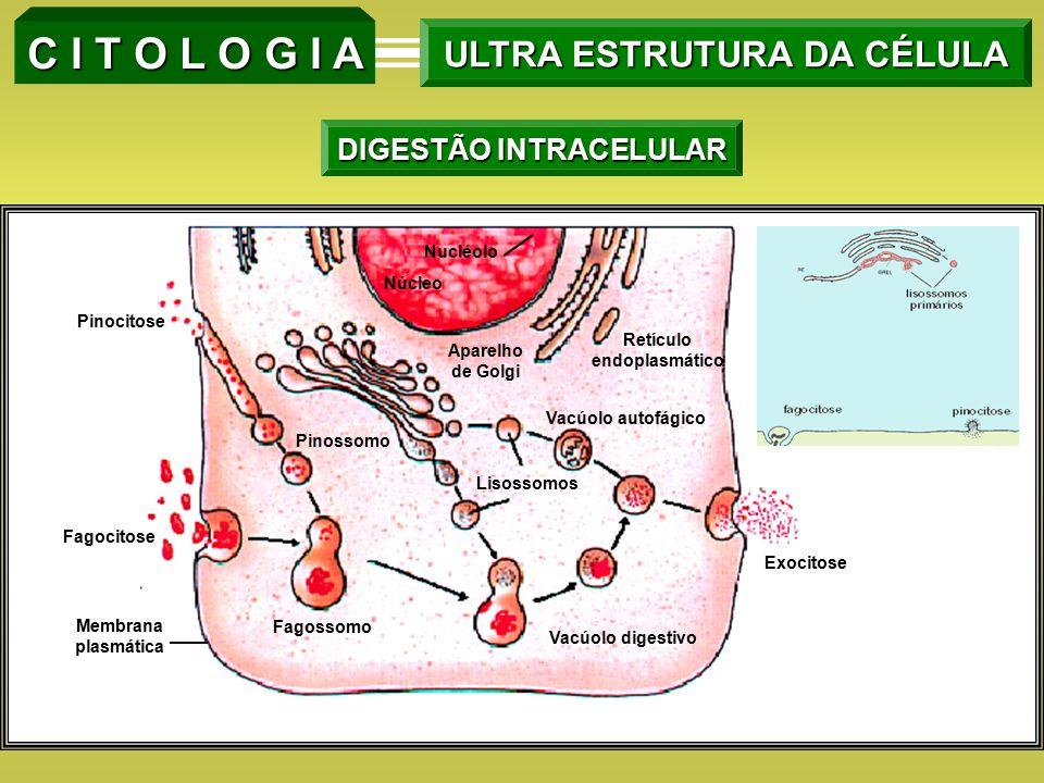 Nucléolo Núcleo Pinocitose Fagocitose Membrana plasmática Fagossomo Pinossomo Aparelho de Golgi Lisossomos Retículo endoplasmático Vacúolo autofágico