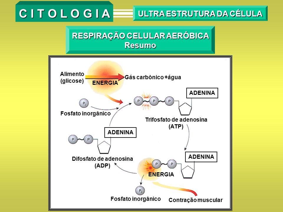 RESPIRAÇÃO CELULAR AERÓBICA Resumo Alimento (glicose) ENERGIA Gás carbônico +água ADENINA Trifosfato de adenosina (ATP) Contração muscular Fosfato ino