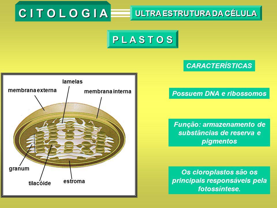 P L A S T O S CARACTERÍSTICAS Possuem DNA e ribossomos Função: armazenamento de substâncias de reserva e pigmentos membrana externa lamelas membrana i