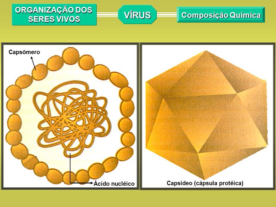 REPRESENTAÇÃO ESQUEMÁTICA DO CICLO DE VIDA DE UM BACTERIÓFAGO VÍRUS Organização dos seres vivos DNA viral Fragmento do Cromossomo bacteriano D) Destruição do cromossomo Bacteriano e síntese das proteínas virais Proteína viral E) Associação do DNA e Proteínas virais com formação dos novos vírus F) Rompimento da parede da Bactéria e liberação dos novos vírus A) Bactéria não-infectada Cromossomo bacteriano Vírus DNA viral B) Adesão do vírus e injeção do DNA viral C) Multiplicação do DNA viral