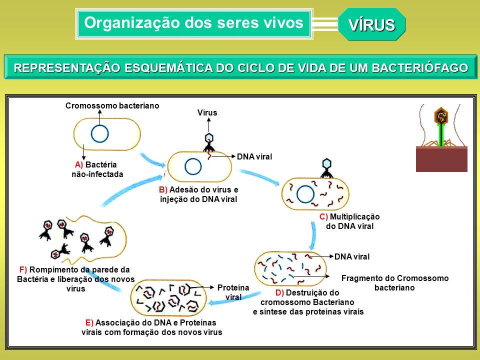 REPRESENTAÇÃO ESQUEMÁTICA DO CICLO DE VIDA DE UM BACTERIÓFAGO VÍRUS Organização dos seres vivos DNA viral Fragmento do Cromossomo bacteriano D) Destru