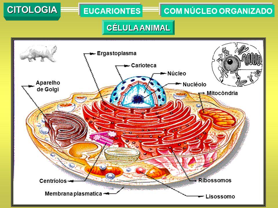 COM NÚCLEO ORGANIZADOEUCARIONTES CITOLOGIA CÉLULA ANIMAL Membrana plasmatica Centríolos Aparelho de Golgi Ergastoplasma Carioteca Núcleo Nucléolo Mito