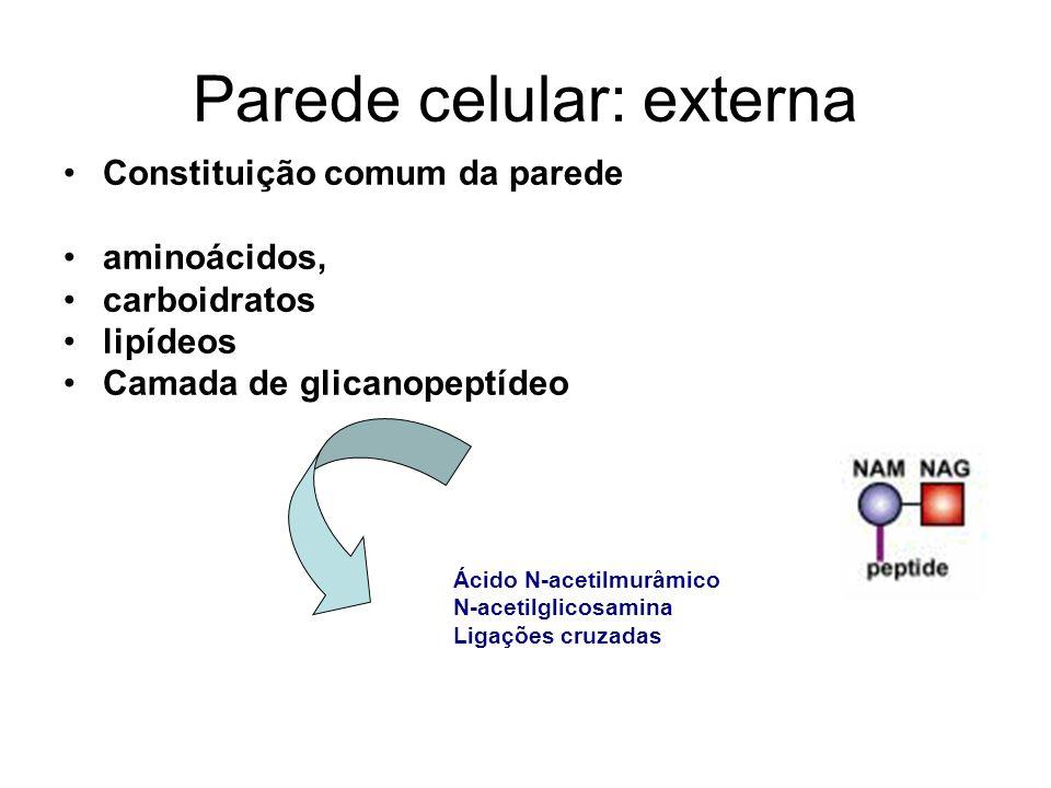 Parede celular: externa Constituição comum da parede aminoácidos, carboidratos lipídeos Camada de glicanopeptídeo Ácido N-acetilmurâmico N-acetilglico