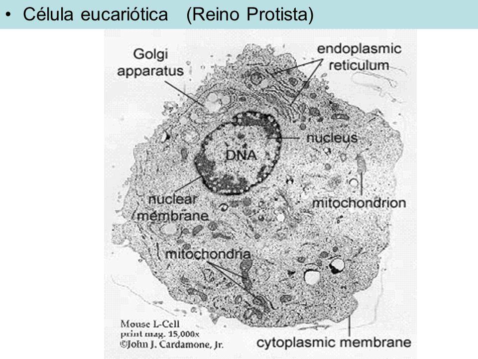 Formas: esféricas, cilíndricas, espiraladas ou espiroquetas e em forma de víbrio; Cocos: esféricas Bacilos: em forma de bastonetes Espirilos: Formas helicoidais ou espiraladas Vibrião: em forma de vírgula