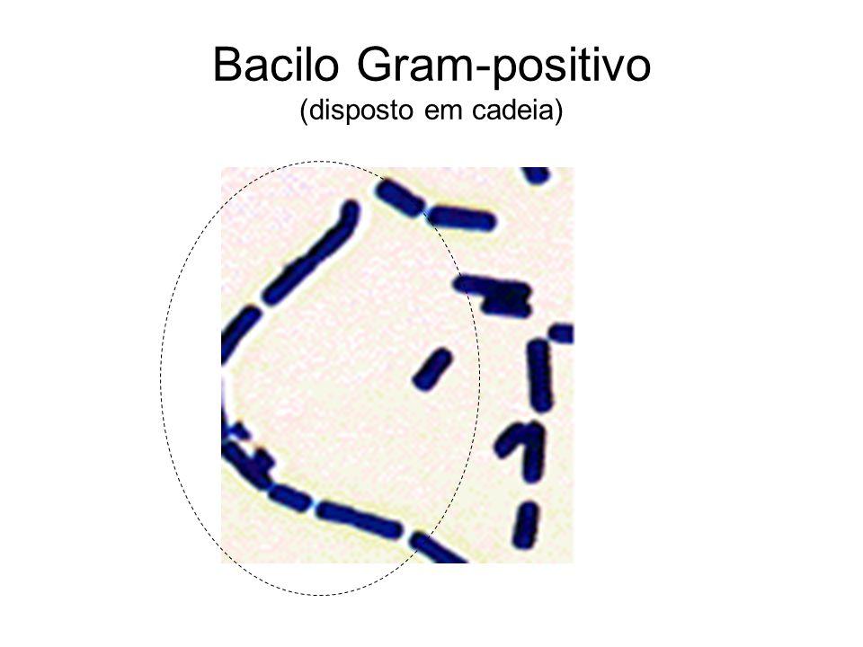 Bacilo Gram-positivo (disposto em cadeia)