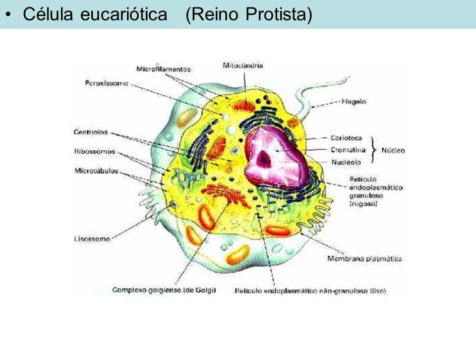 Classificação dos microorganismos: tipo de célula Fungos, bactérias e vírus