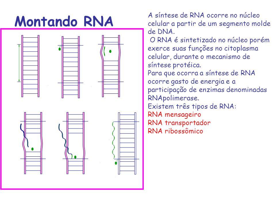 Montando RNA A síntese de RNA ocorre no núcleo celular a partir de um segmento molde de DNA. O RNA é sintetizado no núcleo porém exerce suas funções n