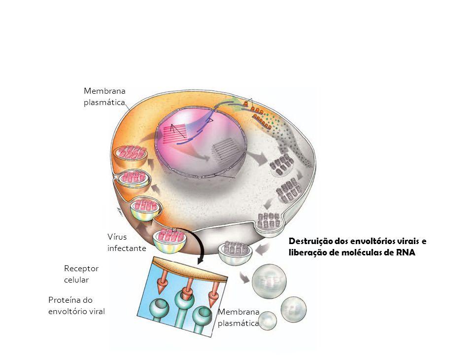 Vírus infectante Membrana plasmática Receptor celular Proteína do envoltório viral Membrana plasmática Destruição dos envoltórios virais e liberação d