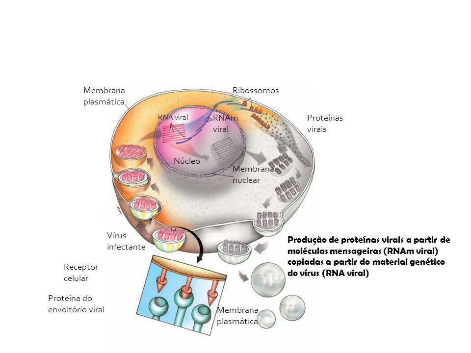 Vírus infectante Membrana plasmática Receptor celular Proteína do envoltório viral Membrana plasmática Produção de proteínas virais a partir de molécu
