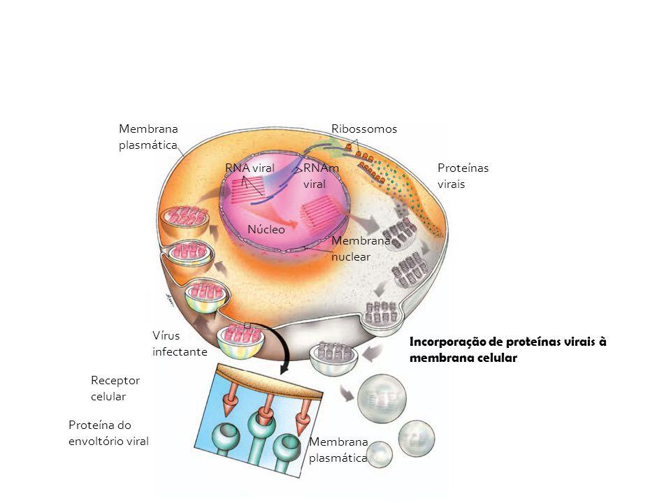 Vírus infectante Membrana plasmática Receptor celular Proteína do envoltório viral Membrana plasmática Ribossomos Proteínas virais Núcleo Membrana nuc