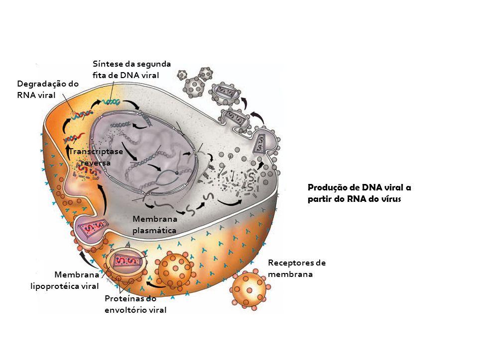 Receptores de membrana Membrana plasmática Proteínas do envoltório viral Membrana lipoprotéica viral Produção de DNA viral a partir do RNA do vírus Sí