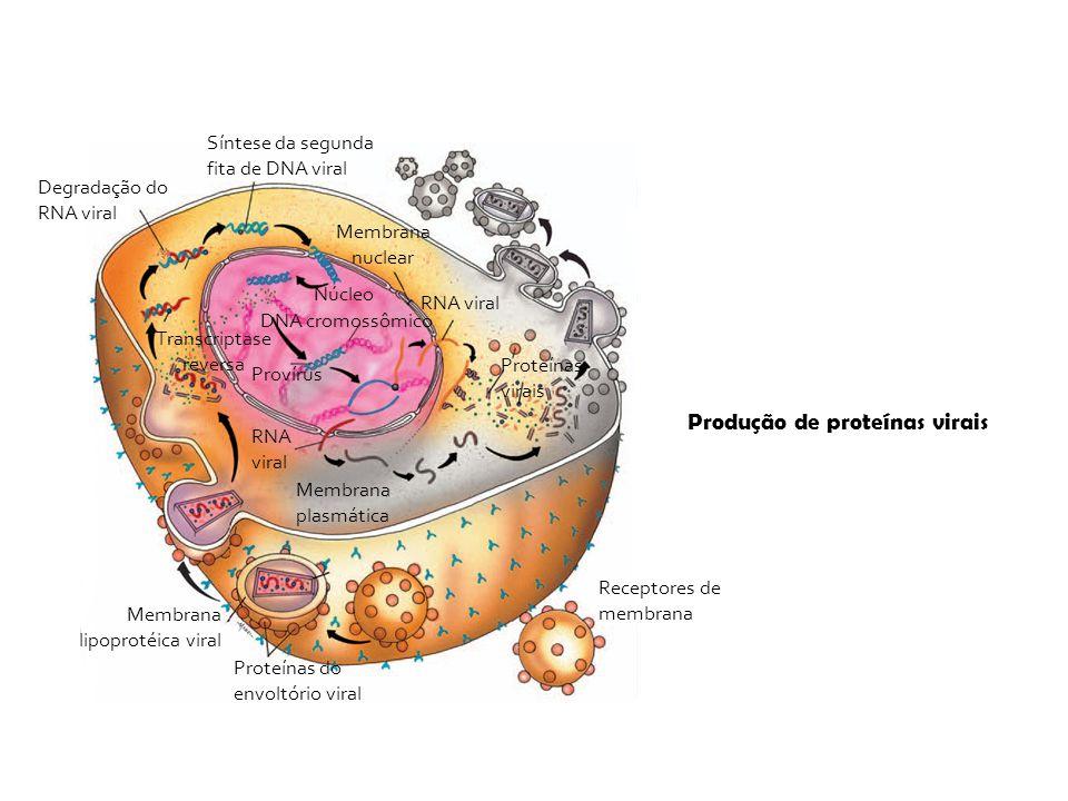 Receptores de membrana Membrana plasmática Proteínas do envoltório viral Membrana lipoprotéica viral Síntese da segunda fita de DNA viral Degradação d