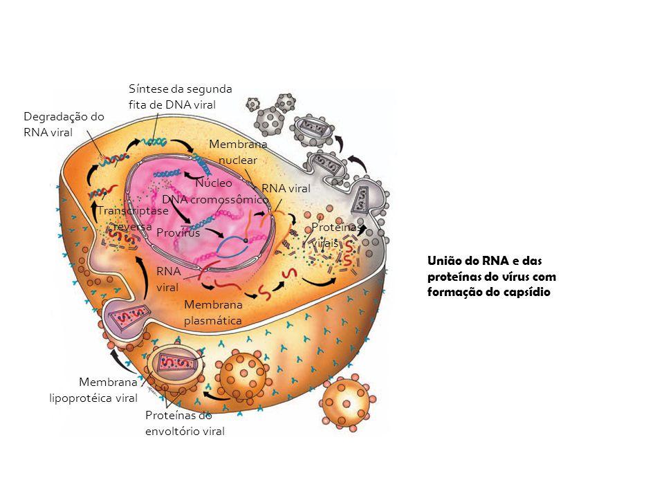 Membrana plasmática Proteínas do envoltório viral Membrana lipoprotéica viral Síntese da segunda fita de DNA viral Degradação do RNA viral Transcripta