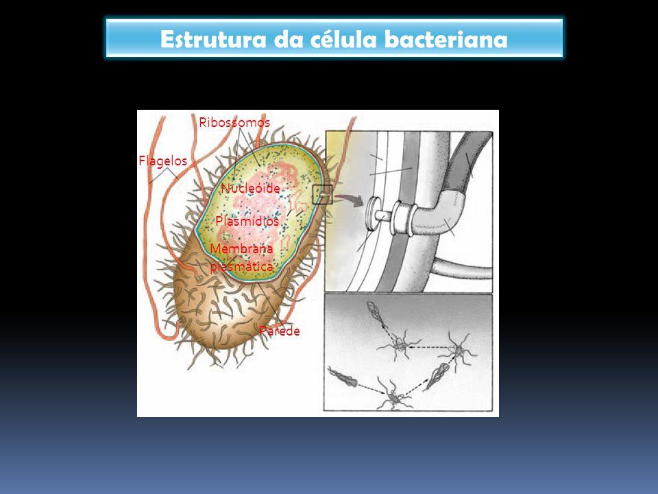Flagelos Ribossomos Nucleóide Plasmídios Membrana plasmática Parede Estrutura da célula bacteriana