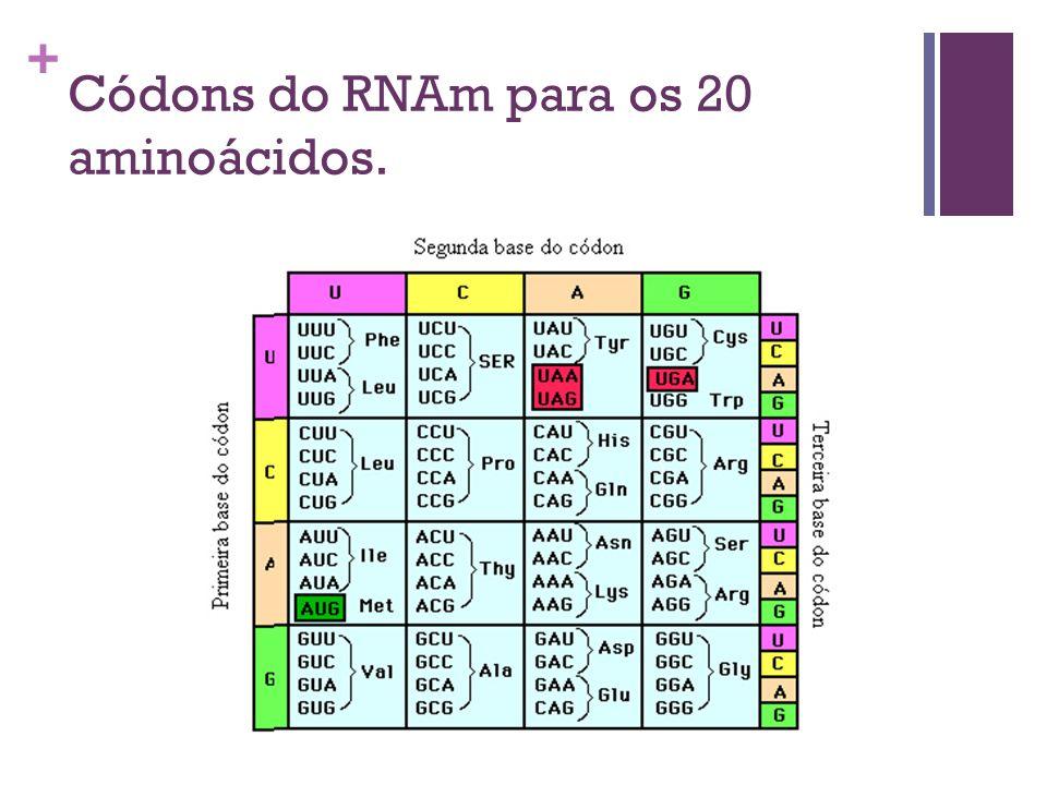 + Códons do RNAm para os 20 aminoácidos.