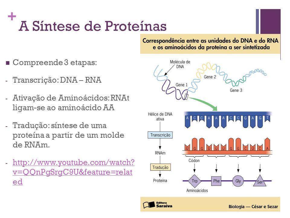 + A Síntese de Proteínas Compreende 3 etapas: - Transcrição: DNA – RNA - Ativação de Aminoácidos: RNAt ligam-se ao aminoácido AA - Tradução: síntese d