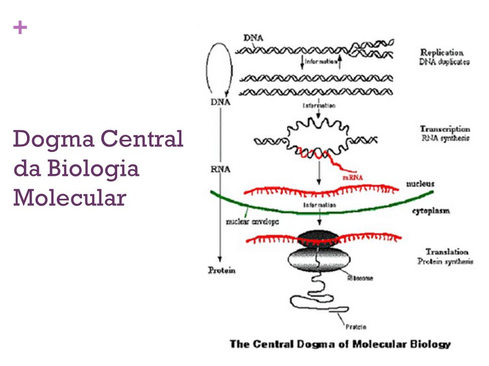 + Dogma Central da Biologia Molecular