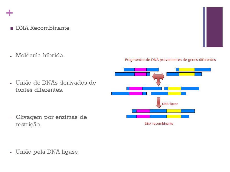 + DNA Recombinante - Molécula híbrida. - União de DNAs derivados de fontes diferentes. - Clivagem por enzimas de restrição. - União pela DNA ligase