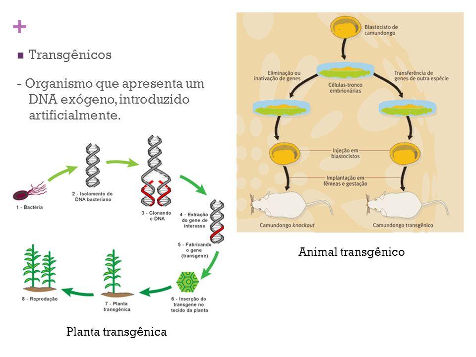 + Transgênicos - Organismo que apresenta um DNA exógeno, introduzido artificialmente. Animal transgênico Planta transgênica