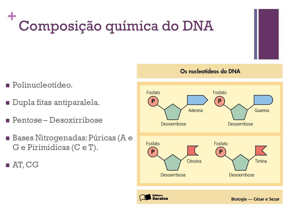 + Composição química do DNA Polinucleotídeo. Dupla fitas antiparalela. Pentose – Desoxirribose Bases Nitrogenadas: Púricas (A e G e Pirimidicas (C e T