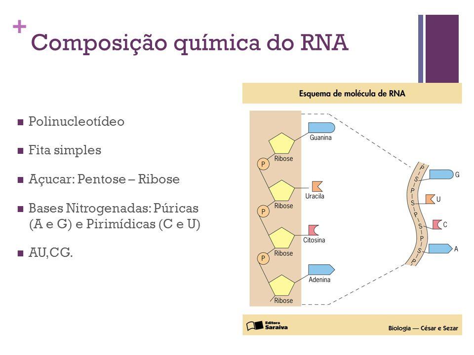 + Composição química do RNA Polinucleotídeo Fita simples Açucar: Pentose – Ribose Bases Nitrogenadas: Púricas (A e G) e Pirimídicas (C e U) AU,CG.