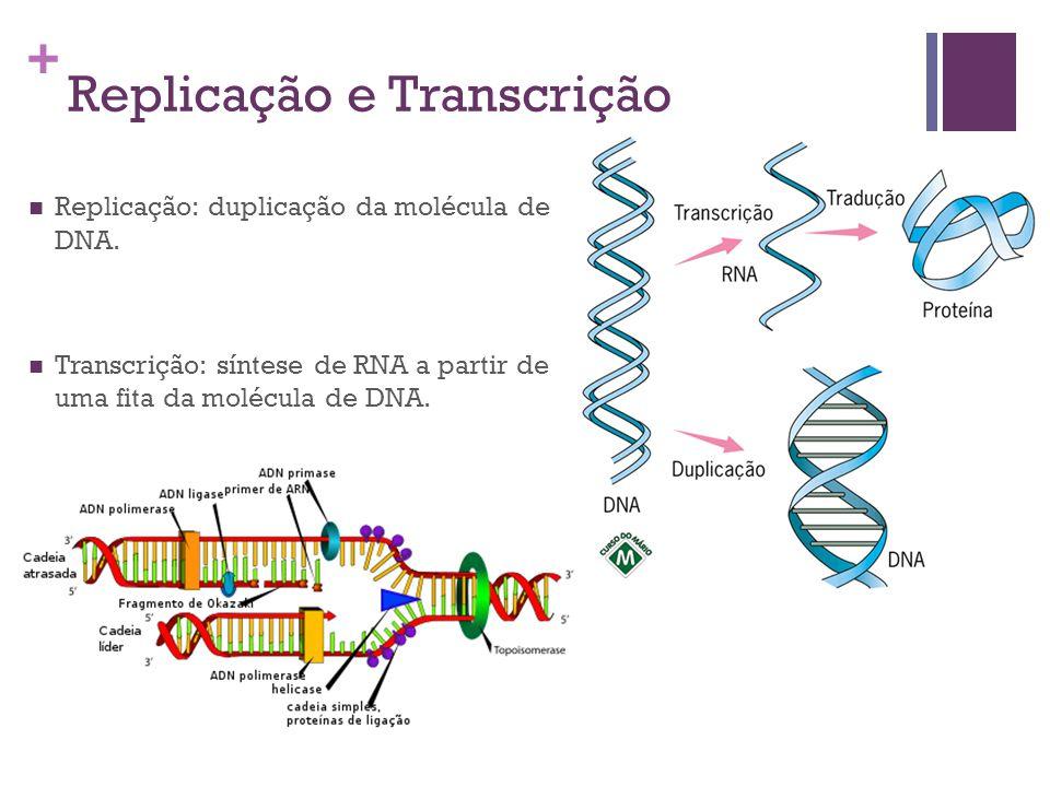 + Replicação e Transcrição Replicação: duplicação da molécula de DNA. Transcrição: síntese de RNA a partir de uma fita da molécula de DNA.