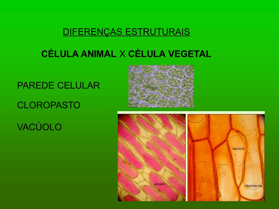 DIFERENÇAS ESTRUTURAIS CÉLULA ANIMAL X CÉLULA VEGETAL PAREDE CELULAR CLOROPASTO VACÚOLO
