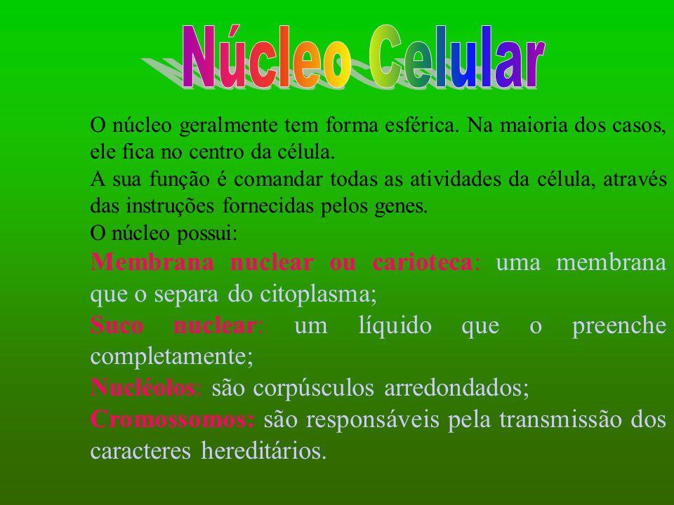 O núcleo geralmente tem forma esférica. Na maioria dos casos, ele fica no centro da célula. A sua função é comandar todas as atividades da célula, atr