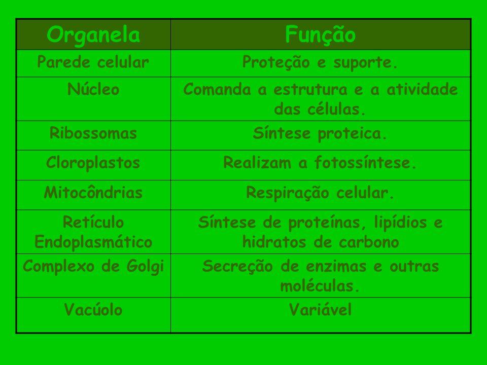 OrganelaFunção Parede celularProteção e suporte. NúcleoComanda a estrutura e a atividade das células. RibossomasSíntese proteica. CloroplastosRealizam