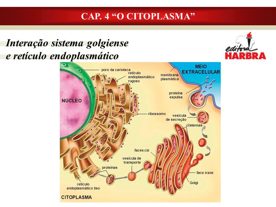 """Interação sistema golgiense e retículo endoplasmático CAP. 4 """"O CITOPLASMA"""" poro da carioteca retículo endoplasmático rugoso ribossomo retículo endopl"""