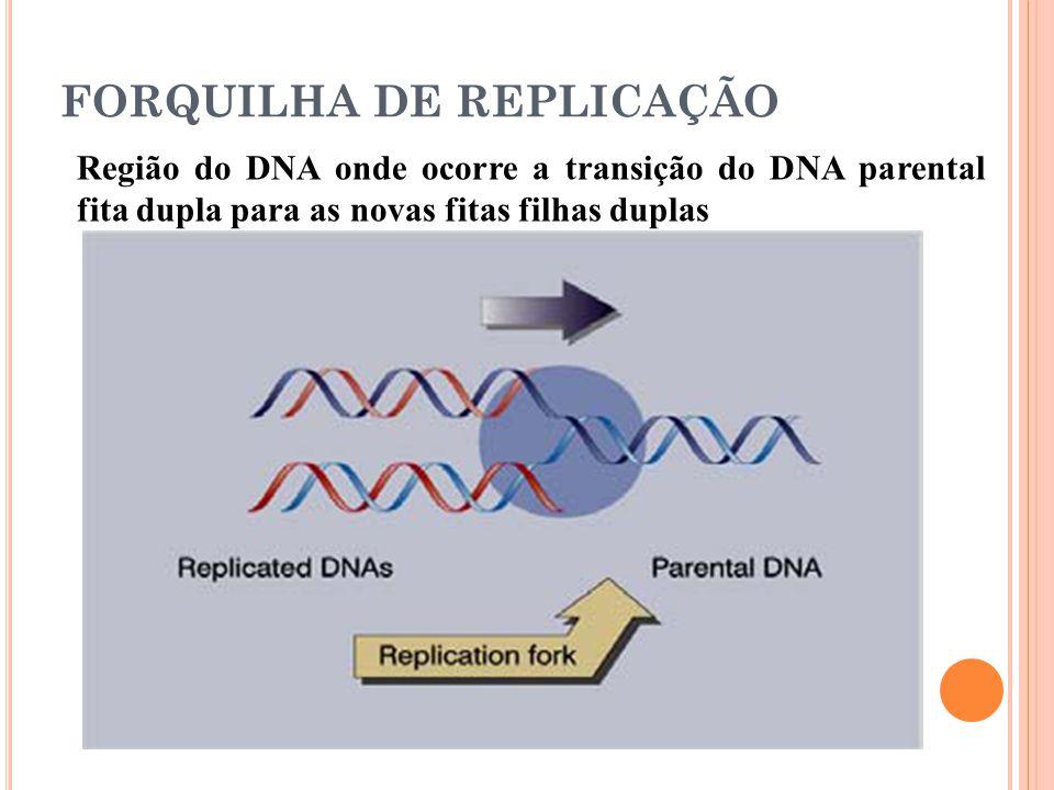 FORQUILHA DE REPLICAÇÃO Região do DNA onde ocorre a transição do DNA parental fita dupla para as novas fitas filhas duplas