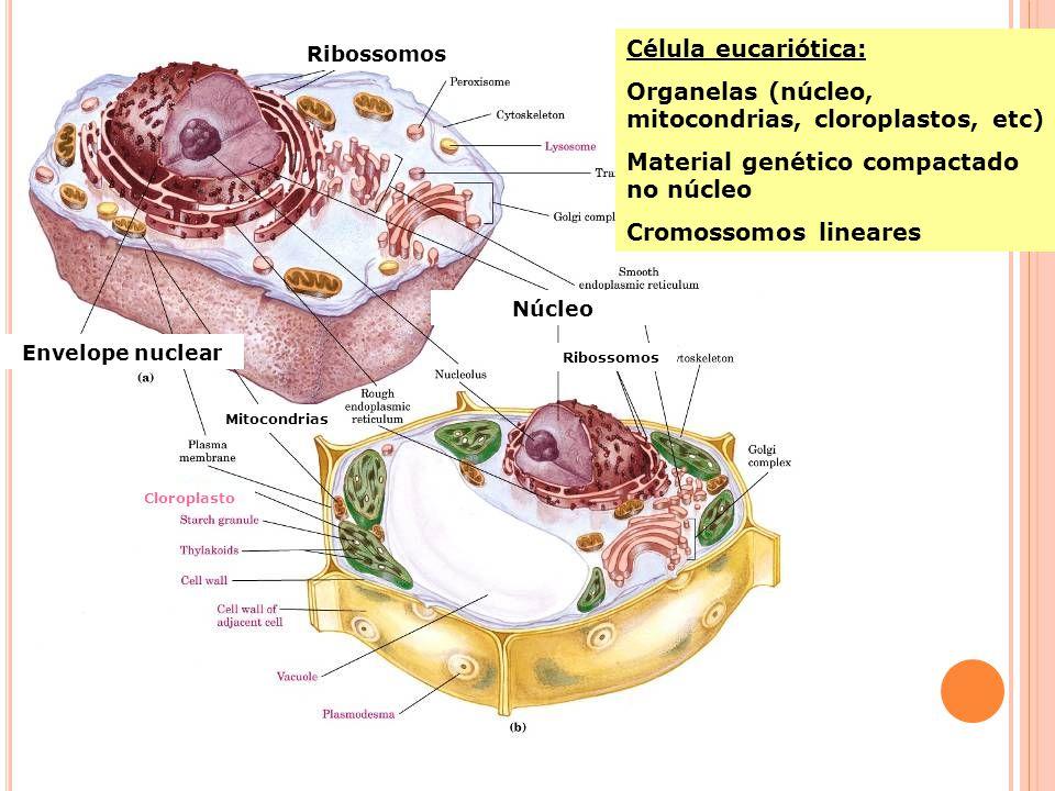 Célula eucariótica: Organelas (núcleo, mitocondrias, cloroplastos, etc) Material genético compactado no núcleo Cromossomos lineares Ribossomos Envelope nuclear Núcleo Ribossomos Mitocondrias Cloroplasto