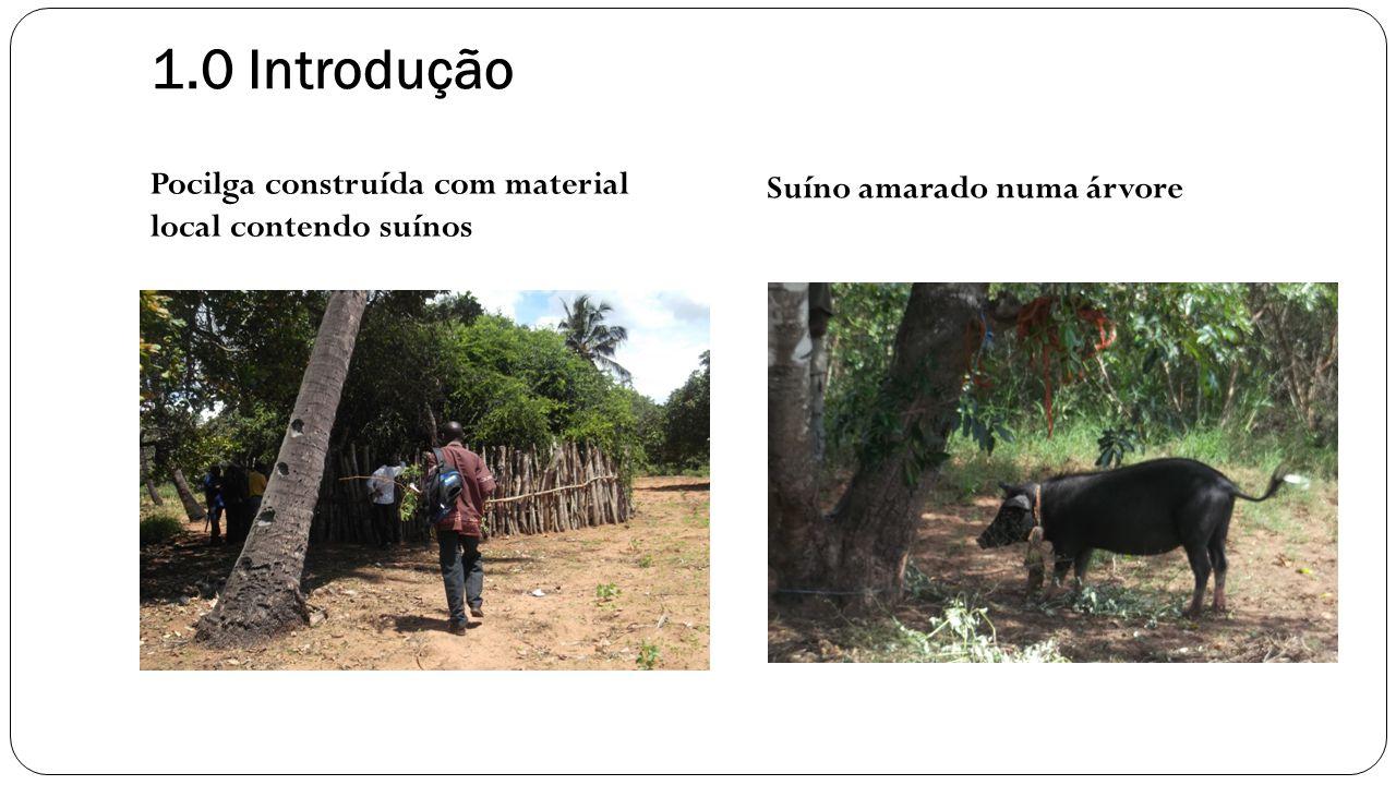 1.0 Introdução Pocilga construída com material local contendo suínos Suíno amarado numa árvore