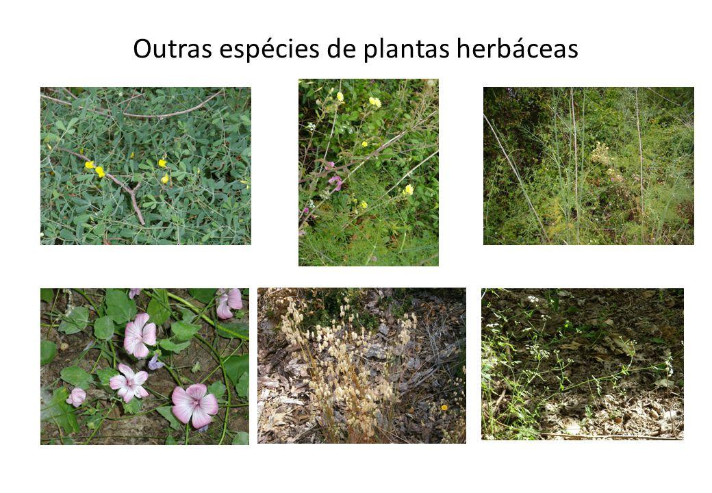 Outras espécies de plantas herbáceas Outras espécies: Gilbardeira