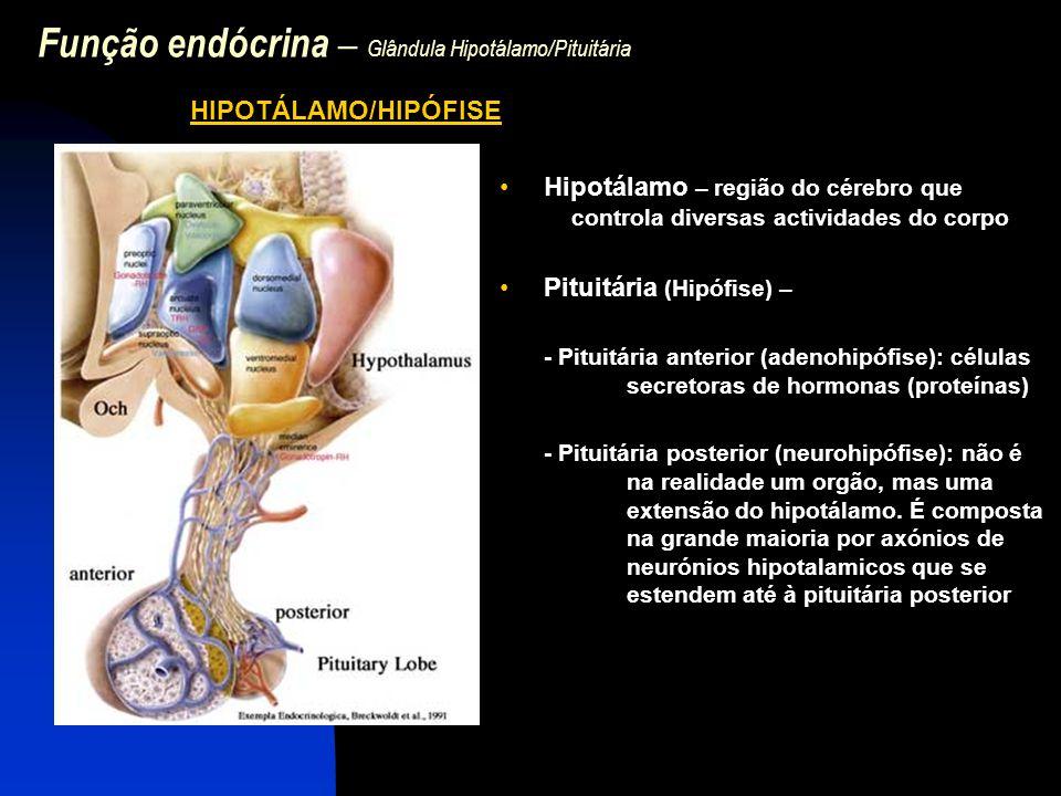 Função endócrina – Glândula Hipotálamo/Pituitária Relação funcional entre hipotálamo e pituitária anterior - A secreção hormonal a partir da hipófise anterior está sob controlo estrito das hormonas hipotalamicas que chegam à pituitária por: -Artéria hipofiseal, que origina capilares onde são libertadas hormonas do hipotálamo destinadas à hipófise anterior -O sangue desses capilares drena nas veias portal hipotalamica- hipofisária, as quais se dividem outra vez em capilares que penetram na hipófise -Os capilares coalescem em veias que drenam no sistema vascular venoso.