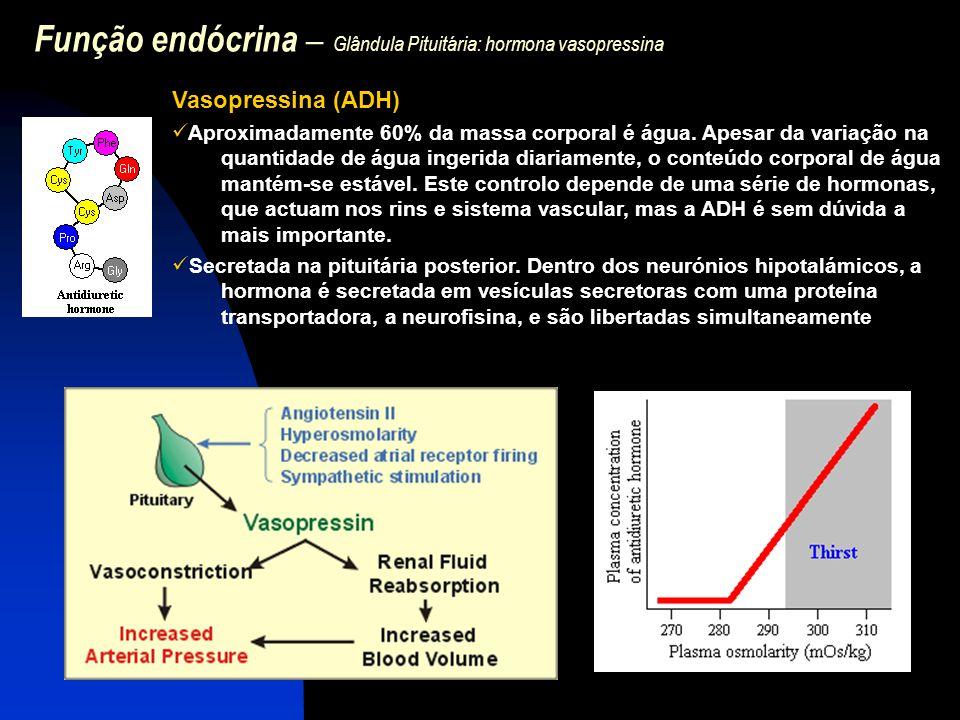 Função endócrina – Glândula Pituitária: hormona vasopressina Vasopressina (ADH) Aproximadamente 60% da massa corporal é água. Apesar da variação na qu