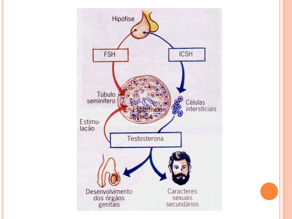 T ESTÍCULOS Testosterona Saco escrotal