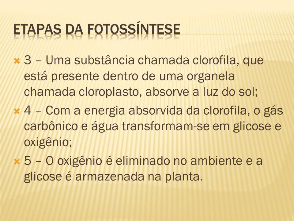  3 – Uma substância chamada clorofila, que está presente dentro de uma organela chamada cloroplasto, absorve a luz do sol;  4 – Com a energia absorvida da clorofila, o gás carbônico e água transformam-se em glicose e oxigênio;  5 – O oxigênio é eliminado no ambiente e a glicose é armazenada na planta.