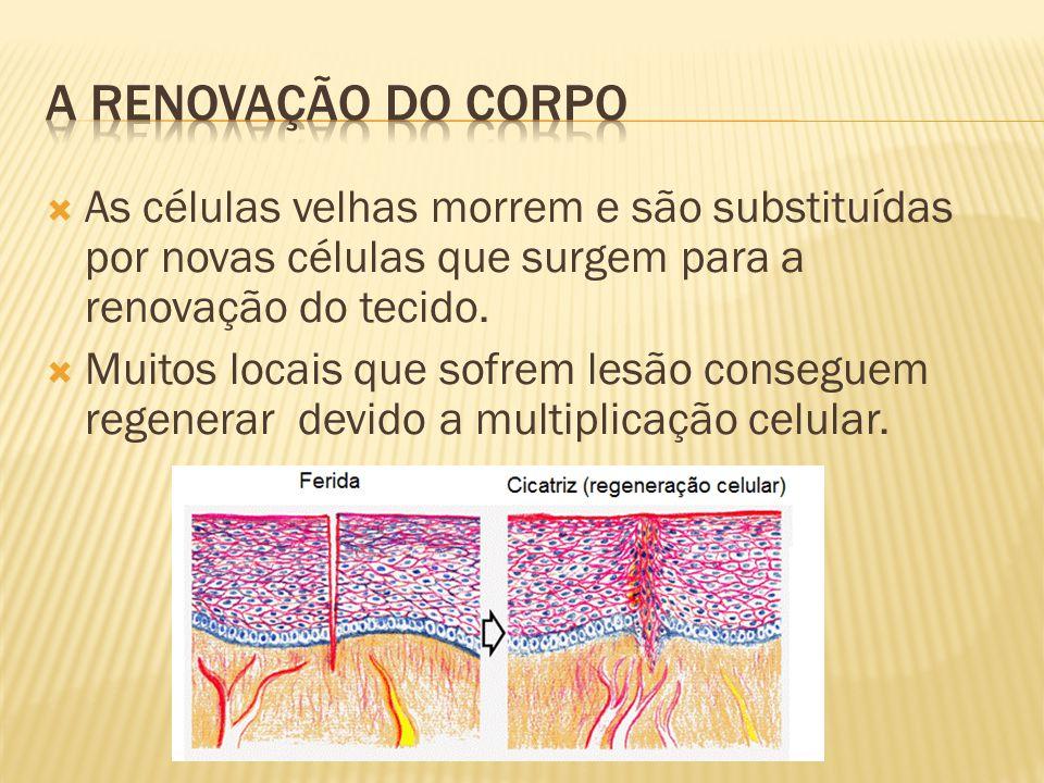  As células velhas morrem e são substituídas por novas células que surgem para a renovação do tecido.