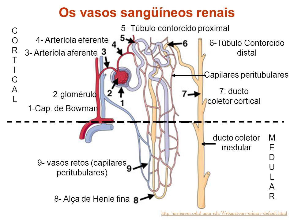 3- Arteríola aferente 4- Arteríola eferente 5- Túbulo contorcido proximal 2-glomérulo 9- vasos retos (capilares peritubulares) MEDULARMEDULAR CORTICAL