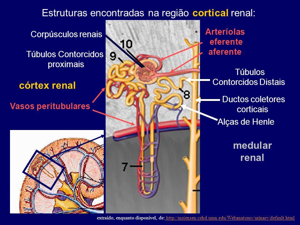 Túbulos Contorcidos Distais Vasos peritubulares Túbulos Contorcidos proximais Estruturas encontradas na região cortical renal: Arteríolas eferente afe